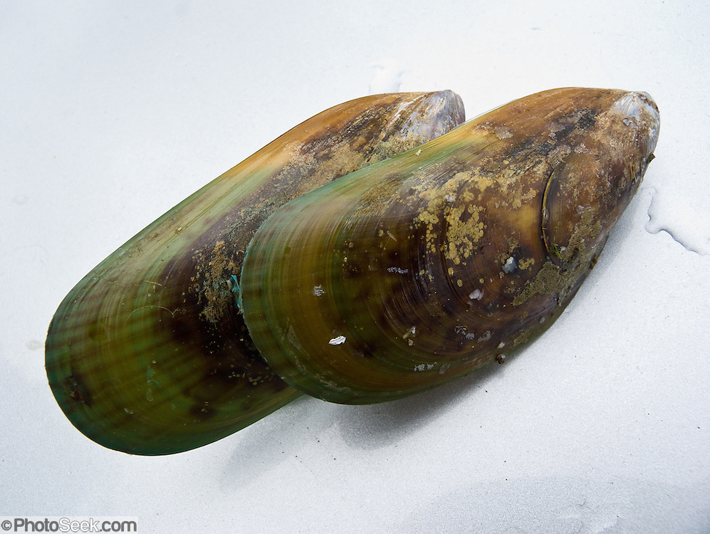 Green mussels, Havelock, South Island, New Zealand