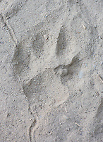 Tiger pugmark in Bardia National Park, Nepal