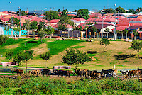 Herding cattle, Soweto (South Western townships), Johannesburg, South Africa.