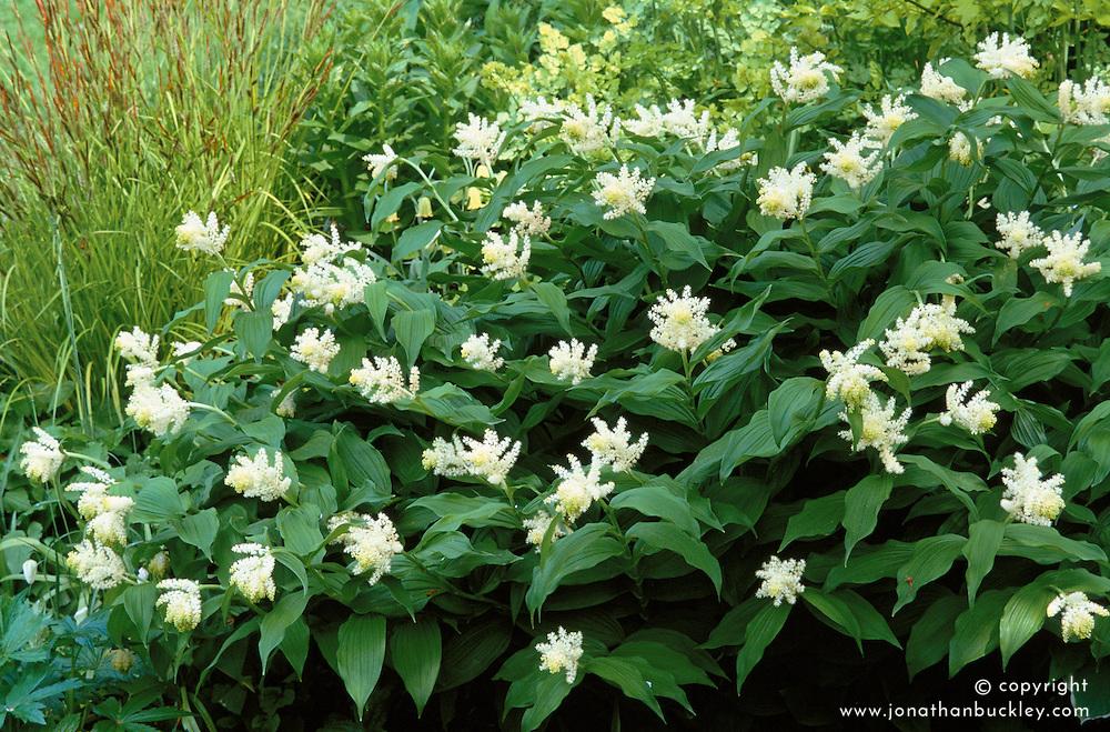 Smilacina racemosa flowering at Glen Chantry - False Solomon's Seal syn. Maianthemum racemosum ( False spikenard )