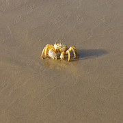 Ghost crab, Ditwah lagoon near Qalansiyah, Socotra island, listed as World Heritage by UNESCO, Yemen, Arabia, West Asia