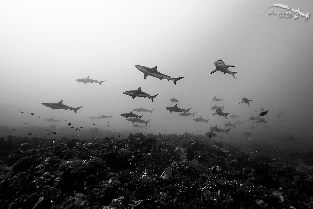 Schooling gray reef sharks (Carcharhinus amblyrhynchos) at Fakarava's south pass (Tomakohua) in French Polynesia. This is likely the best pass in the world to see aggregating reef sharks.