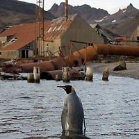 Antarctica, South Georgia Island (UK), King Penguin (Aptenodytes patagonicus)  Antarctic Fur Seals (Arctocephalus gazella) amid rusting machinery at abandoned Husvik whaling station along Stromness Bay