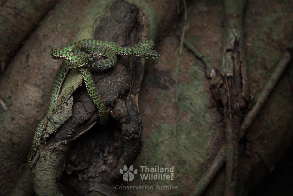 Beautiful Pit Viper (Trimeresurus venustus) juvenile in Nakhon Si Thammarat, Thailand