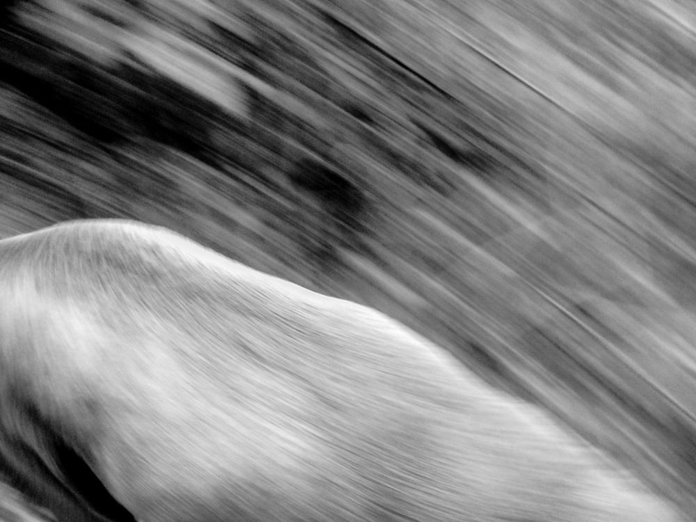 Sugar running with elk scapula bone
