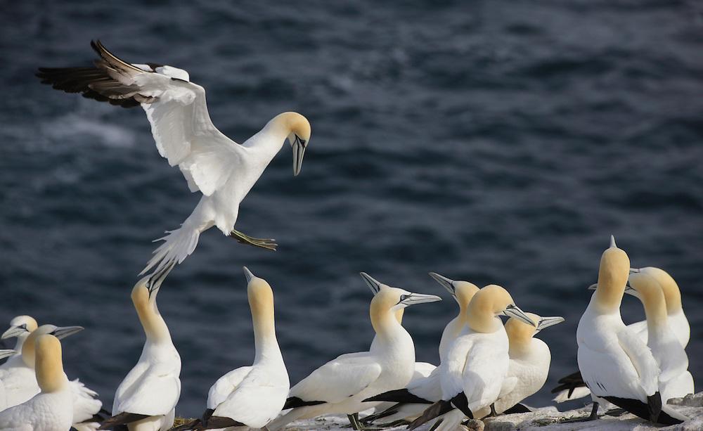 Gannet, Sula bassana,  Ireland Saltee Islands
