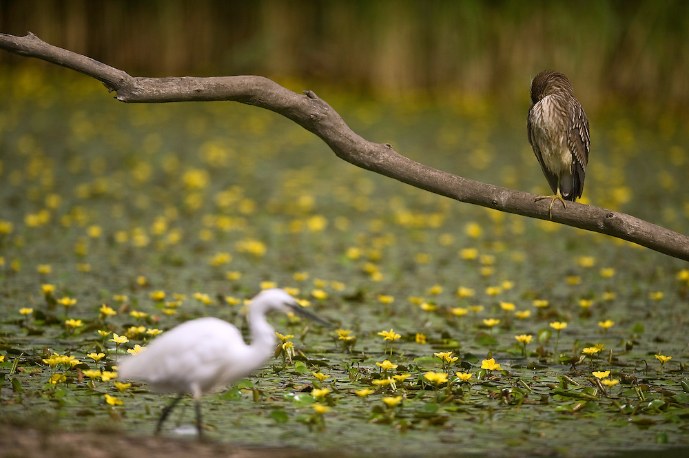 Little egret (egretta garzetta) and Boat-billed Heron (Cochlearius cochlearius) in Hortobagy National Park, Hungary