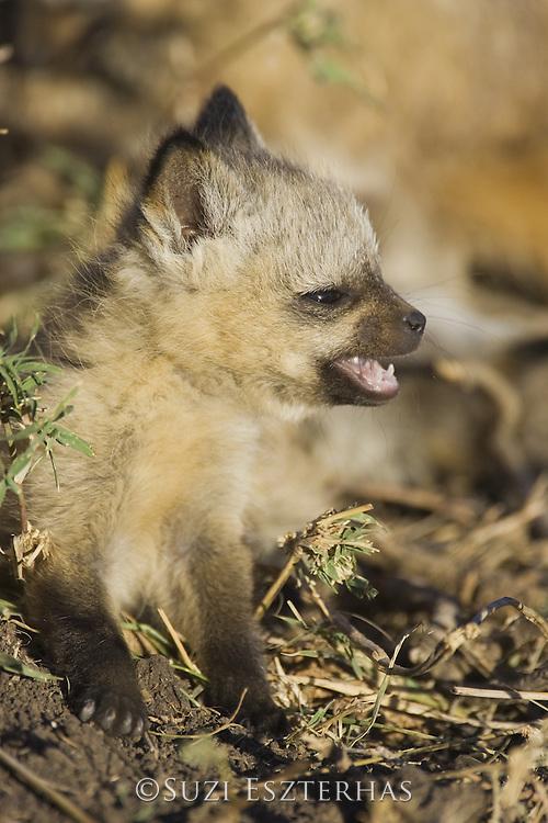 Bat-eared fox<br /> Otocyon megalotis<br /> Playful 5 week old pup(s)<br /> Masai Mara Reserve, Kenya