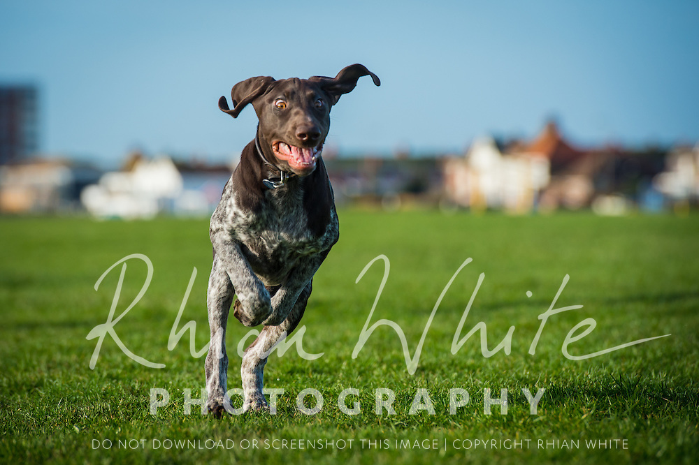 Images of Coco, the German Pointer puppy