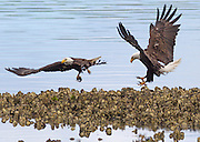 Bald eagles (Haliaeetus leucocephalus) take turns catching midshipman fish in the oyster beds in Hood Canal, Washington. Hundreds of bald eagles congregate in the area near Seabeck early each summer to feast on the migrating fish, which get trapped in the oyster beds during low tides.