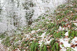 Hart's tongue fern, Asplenium scolopendrium, in a winter woodland in Gloucestershire with frost and snow