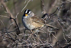 White-crowned Sparrow (Zonotrichia leucophrys), Palo Alto Baylands, Palo Alto, California, United States of America