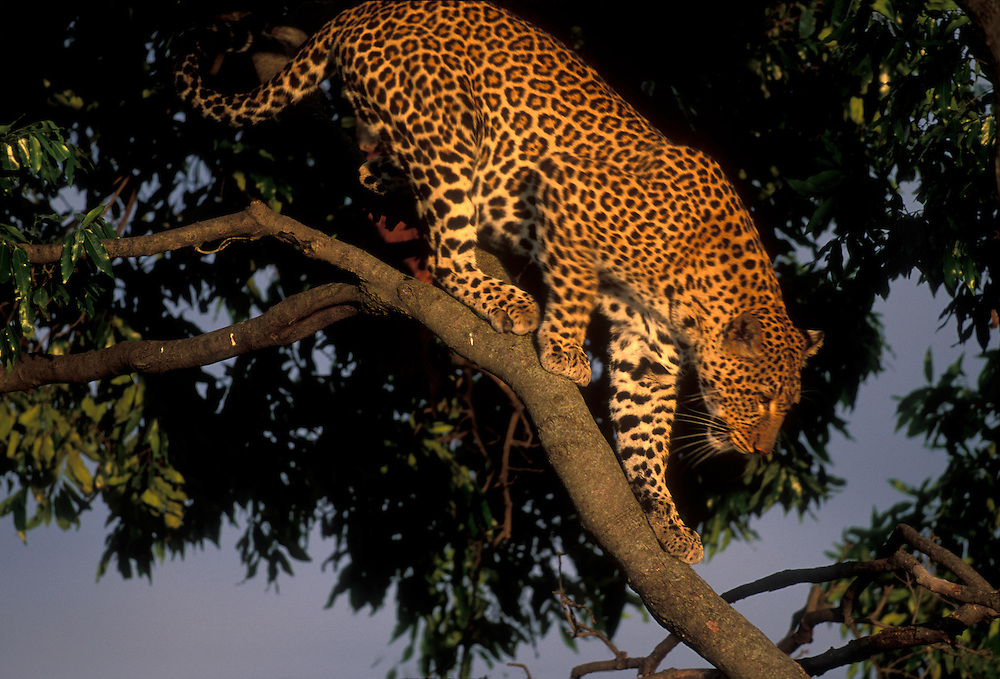 Africa, Kenya, Masai Mara Game Reserve, Adult Female Leopard (Panthera pardus) climbing along tree branch at sunset