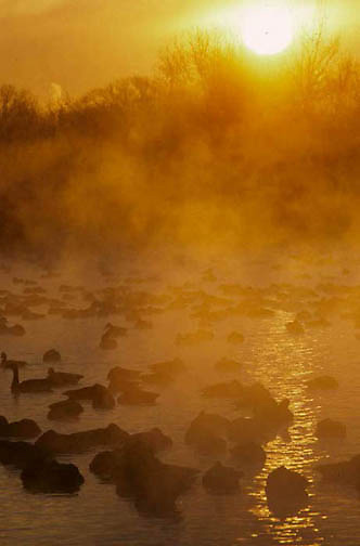 Canada Goose, (Branta canadensis) Early morning sunrise cast mist over geese on frigid lake. Winter. Wisconsin.