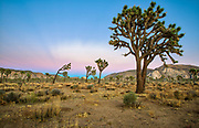 Joshua trees in Joshua Tree National Park