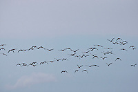 Canadian Geese (Branta canadensis) in migratory flight south. © Allen McEachern.