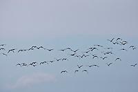 Canadian Geese (Branta canadensis) in migratory flight south. © Allen McEachern.