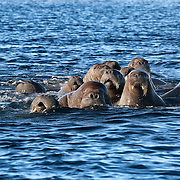 Large aggregation of walruses (Odobenus rosmarus) socializing late at night and foraging for food. This chaotic and noisy group activity continued for many hours, with several dozen individuals involved. The large group sometimes broke up into two or three smaller groups.