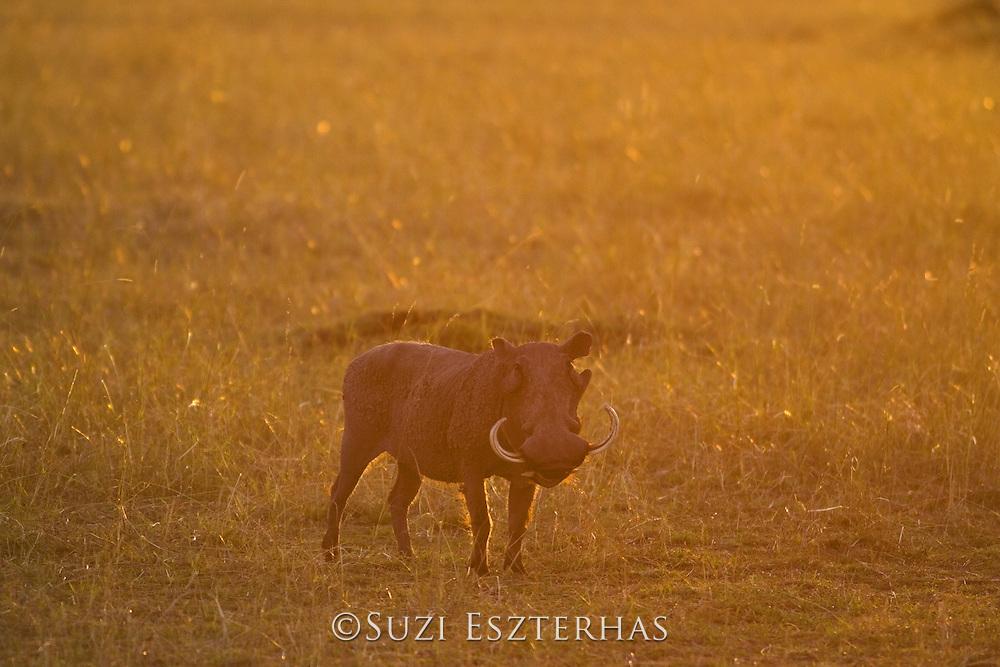 AFRICAN WART HOG <br /> Phacochoerus aethiopicus<br /> At sunset<br /> Masai Mara Reserve, Kenya