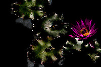 A lovely purple water lily in the spotlight of the setting sun.