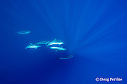 striped dolphins, Stenella coeruleoalba, Pelagos Sanctuary for Mediterranean Marine Mammals, Ligurian Sea, Mediterranean Sea, France