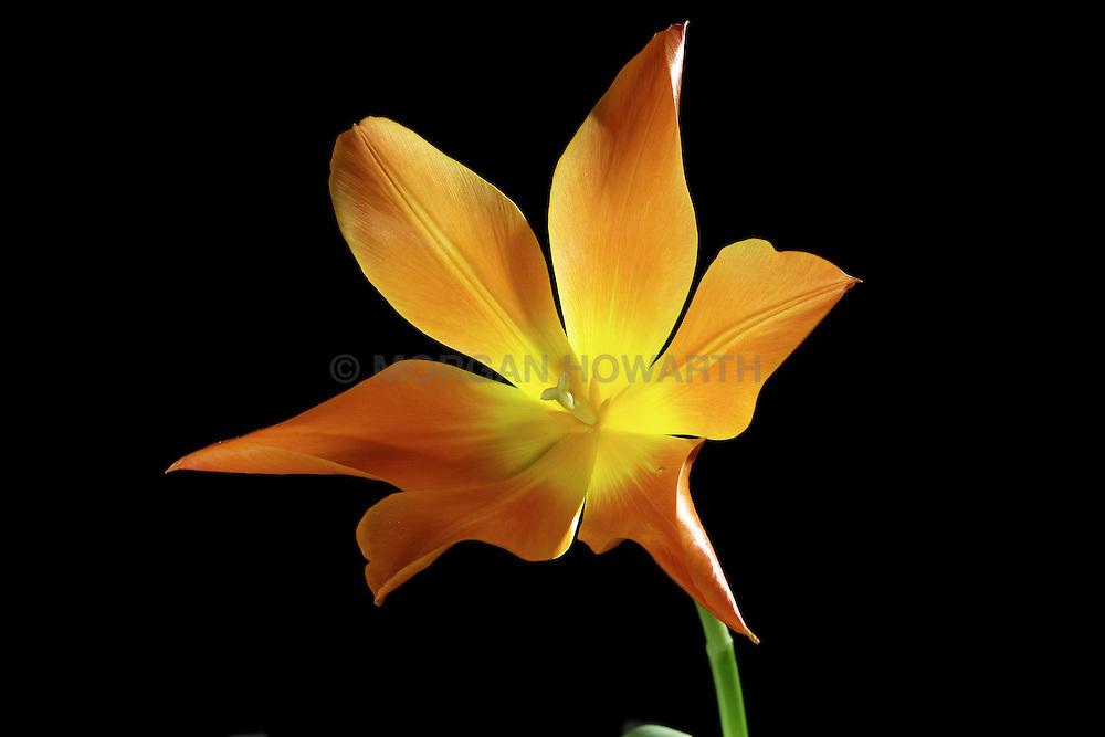 flowering ballerina tulip