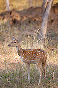 Spotted deer hind, Axis axis, (Chital) in Ranthambhore National Park, Rajasthan, Northern India