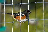 Spotted Towhee (Pipilo maculatus) on fence, Courtenay, Vancouver Island, Canada   Photo: Peter Llewellyn