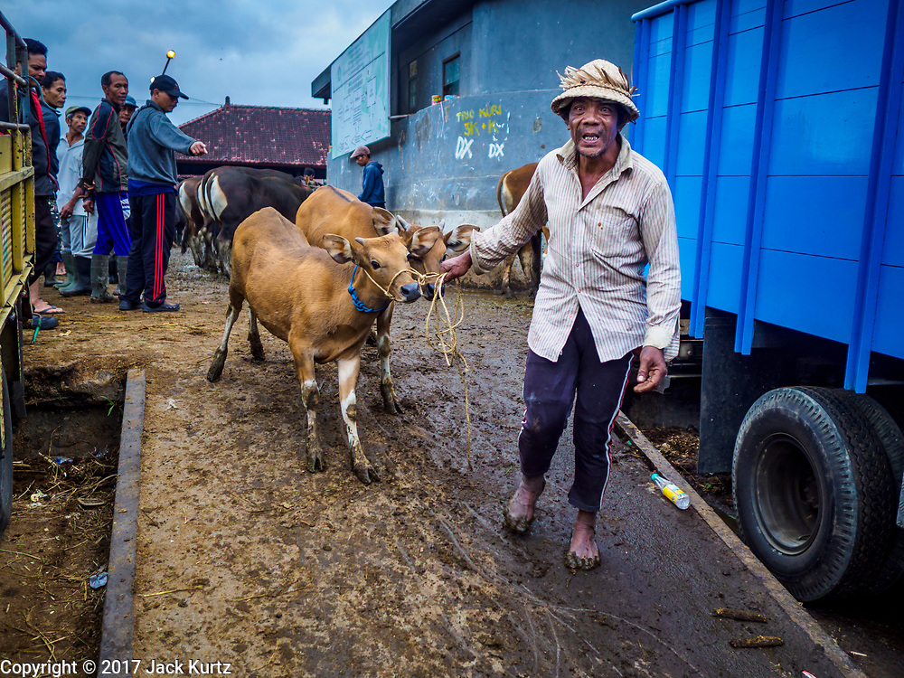 06 AUGUST 2017 - MENGWI, BALI, INDONESIA: A man walks away with a Balinese cow he bought in the Bringkit Market in Mengwi, about 30 minutes from Denpasar. Bringkit Market is famous on Bali for its Sunday livestock and poultry market. Hundreds of the small Bali cows are bought and sold there every week. Bali's local markets are open on an every three day rotating schedule because venders travel from town to town. Before modern refrigeration and convenience stores became common place on Bali, markets were thriving community gatherings. Fewer people shop at markets now as more and more consumers go to convenience stores and more families have refrigerators.     PHOTO BY JACK KURTZ