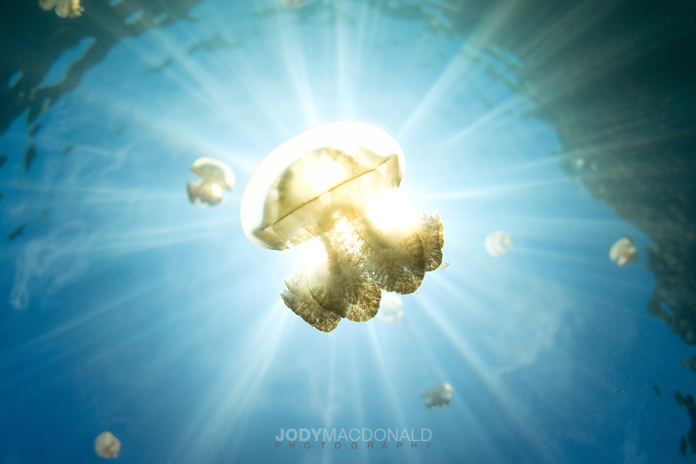 One of millions of stingless jellyfish in the infamous and strange jellyfish lake in Palau is backlit by the mid day sun, highlighting the complexity and beauty of these amazine creatures.