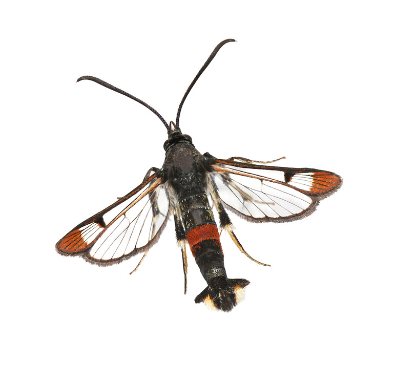 Red-tipped Clearwing - Synanthedon formicaeformis. Length 11-14mm. A fly-like, day-flying moth. Adult has mainly black body with red band on abdomen. Wings are mainly clear but note the red tips and red leading edge to forewing. Larva feeds in stems of sallows and willows. Widespread but commonest in southern England.