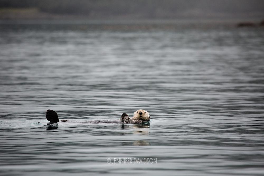 A sea otter in the Inian Islands, Southeast Alaska.