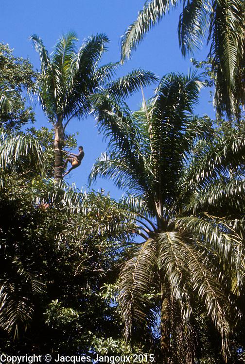 Africa, Democratic Republic of the Congo, Ngiri River islands, Libinza tribe. Man climbing raphia palm tree to collect sap to make palm wine.