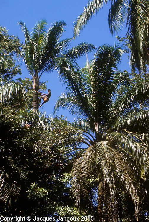 Africa, Democratic Republic of the Congo, Ngiri River islands, Libinza tribe. Man climbing raphia palm tree to collect sap to make palm wine.