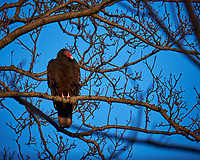 Turkey Vulture in a Neighbors Tree. Image taken with a Fuji X-T1 camera and 100-400 mm OIS telephoto zoom lens (ISO 200, 400 mm, f/5.6, 1/200 sec).