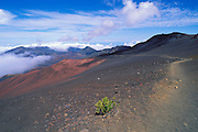 'ohelo shrub along the Sliding Sands Trail in Haleakala Crater, Haleakala National Park, Island of Maui, Hawaii