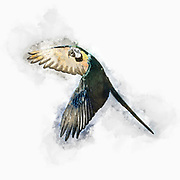 Digitally enhanced image of a blue parrot in flight