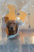 A dog (golden retriever) looking remorseful peering through a hole torn in a screen door
