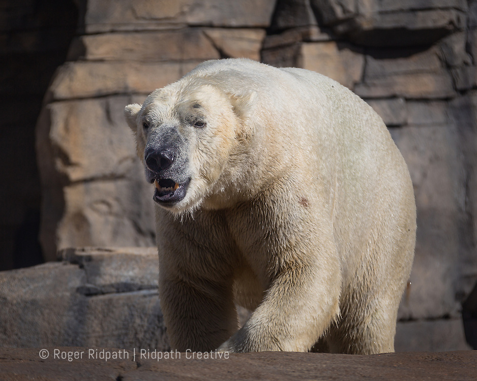 Polar Bear walking at Kansas City Zoo