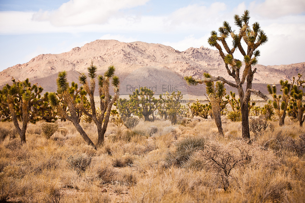 Joshua Trees in the Mojave Desert in the Mojave National Preserve, San Bernardino, CA