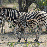 Burchell's Zebra (Equus quagga) adult with baby. South Africa