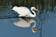 A great egret also called a great white heron is reflected in the salt marshes of the Cape Romain National Wildlife Refuge as it hunts for fish near Charleston, South Carolina. The 66,287 acre National Wildlife Refuge encompass water impoundments, creeks, bays, emergent salt marsh and barrier islands most of which is only accessible by boat.
