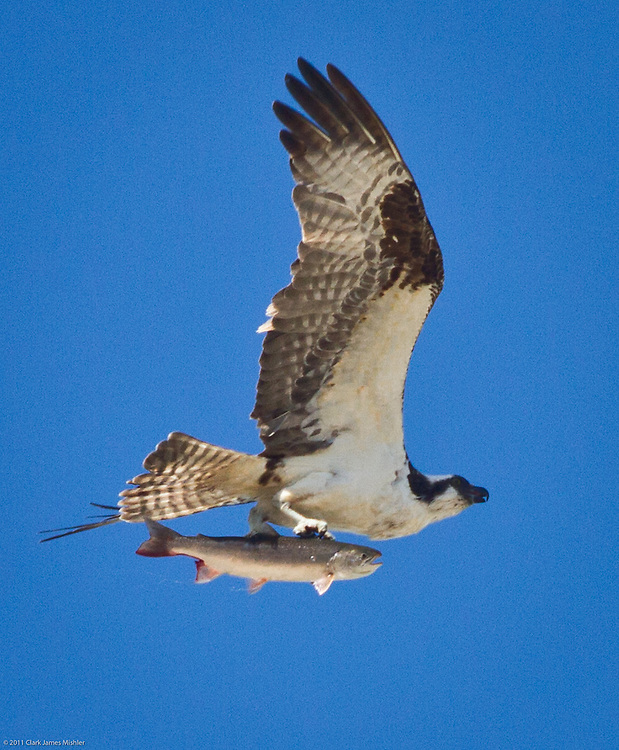 Lunch!  An Osprey, with a Salmon plucked from Fish Creek, flies over Steelfab in Anchorage's industrial area, at 11 AM, July 21.