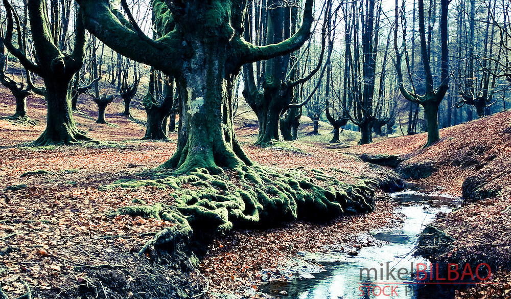Otzarreta beechwood forest. .Gorbea Natural Park. Biscay, Basque Country, Spain