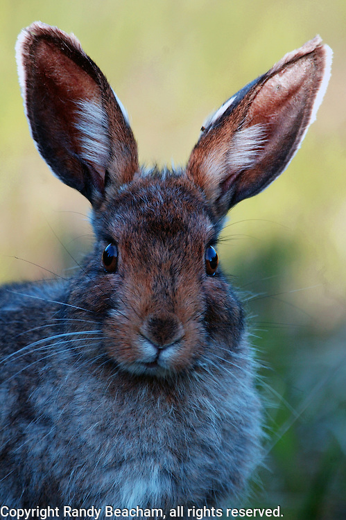 Snowhoe hare portrait in summer. Purcell Mountains in the Kootenai National Forest, northwest Montana.