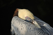 This is a photograph of a brown pelican nestled under its wing.
