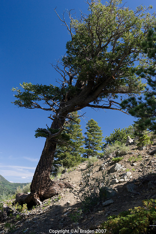Weathered spruce at Hayden Pass near Coaldale, Colorado