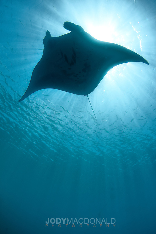 Manta Ray silhouette from below in clear ocean near Pohnpei, Micronesia