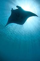 Manta Ray silhouette from below in clear ocean near Pohnpei, Micronesia