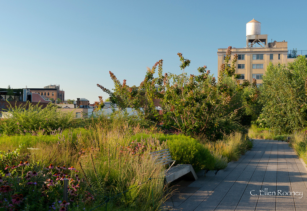 A paved walkway and wooden bench in the Chelsea Grasslands area of The High Line between West 17th Street and West 20th Streets.  Planting includes Eichinacea 'Vintage Wine', Sporobulus heterolepis (prairie dropseed) and Eragostis spectabolis (purple love grass).   New York City, New York State, U.S.A.